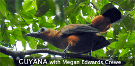 Guyana I with FIELD GUIDES BIRDING TOURS