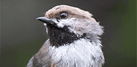 Newfoundland & Nova Scotia with FIELD GUIDES BIRDING TOURS