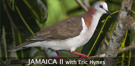 Jamaica with FIELD GUIDES BIRDING TOURS