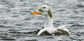 Alaska with FIELD GUIDES BIRDING TOURS