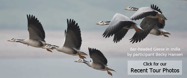 Bar-headed Geese by Northern India participant Becky Hansen