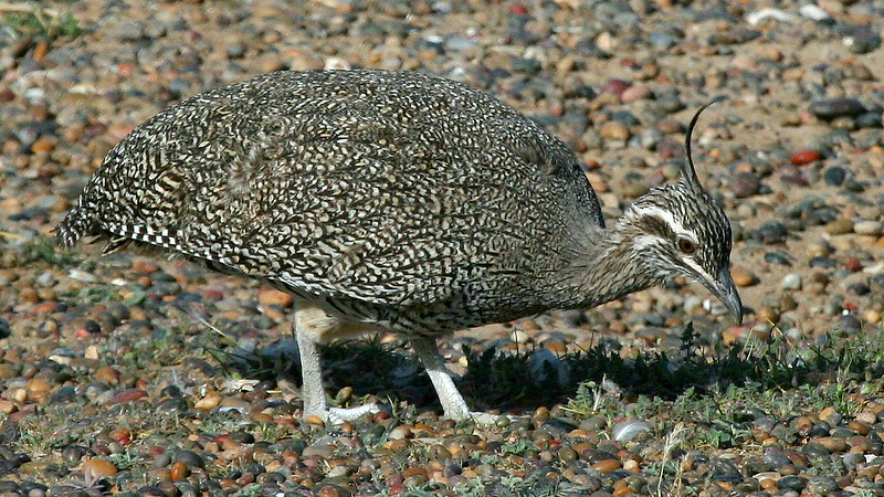 Elegant-crested Tinamou in Argentina with FIELD GUIDES BIRDING TOURS