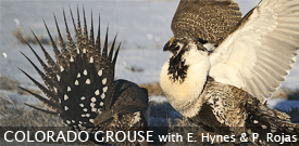 Colorado Grouse birding tour with FIELD GUIDES