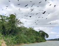 Snail Kites migrating in Brazil by Bret Whitney