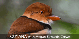 Guyana birding tour with FIELD GUIDES