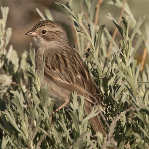 Brewer`s Sparrow  Mammoth Lakes 2017 06 29-1.CR2-1.CR2