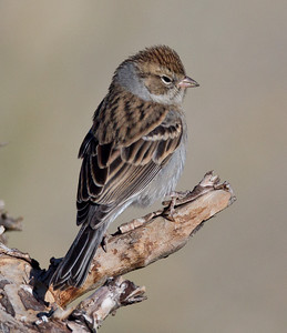 Chipping Sparrow  Mammoth Lakes 2013 09 14 (1 of 2).CR2