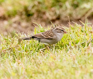 Chipping Sparrow Buddy Todd Park Oceanside 2016 10 15-1.CR2