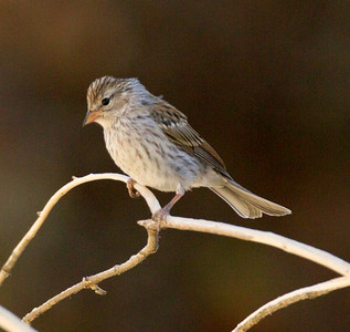 Chipping Sparrow Chidago Canyon 2015 07 28-1.CR2