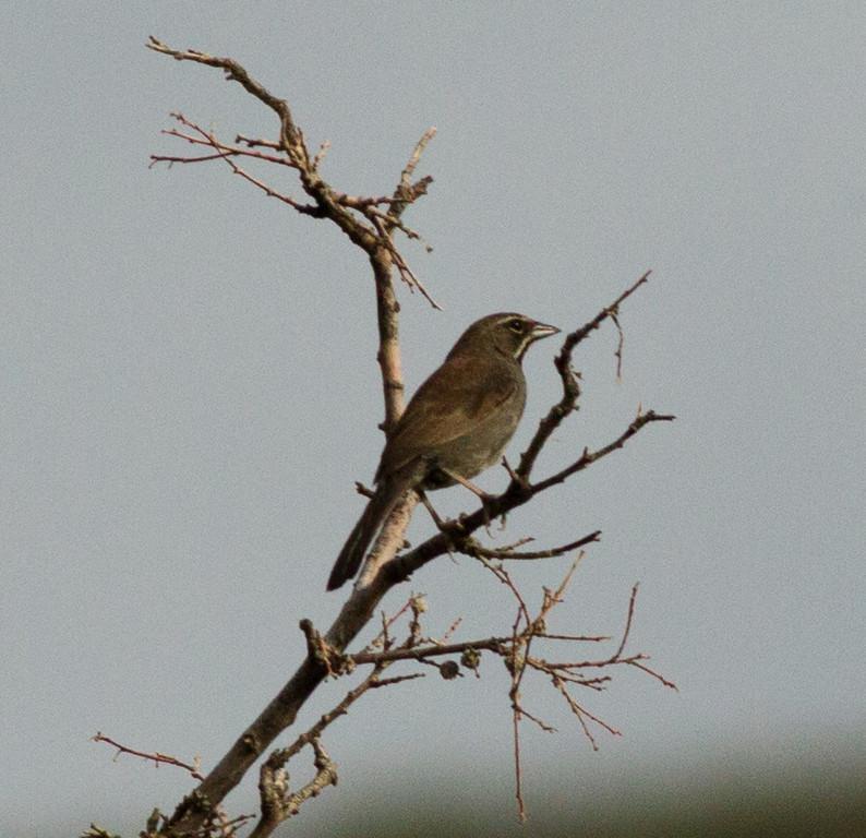 Five-Striped Sparrow Montrose Canyon  Southeast Arizona 2011 08 21-2.CR2