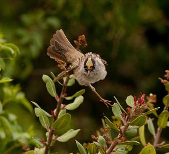 Golden-crowned Sparrow San Dieguito Lagoon 2011 04 11-1.CR2-2.CR2