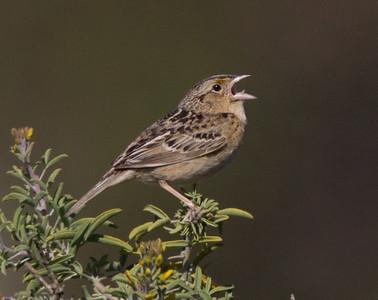 Grasshopper Sparrow Camp Penldelton 2018 04 22-2.CR2