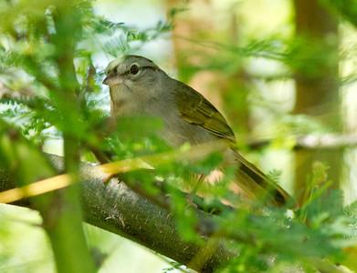 Olive Sparrow  South Texas 2012 03 23-5.CR2