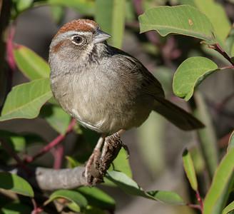 Rufous-crowned Sparrow  Escondido 2015 01 05-1.CR2