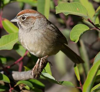 Rufous-crowned Sparrow  Escondido 2015 01 05-4.CR2