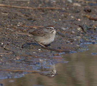 Rufous-crowned Sparrow  Camp Pendleton 2017 12 31-2.CR2
