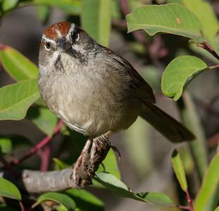 Rufous-crowned Sparrow  Escondido 2015 01 05-2.CR2