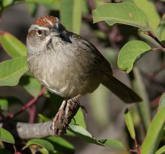 Rufous-crowned Sparrow  Escondido 2015 01 05-3.CR2