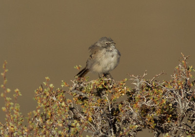 Sage Sparrow   Grant Lake 2012 07 28 (1 of 3).CR2