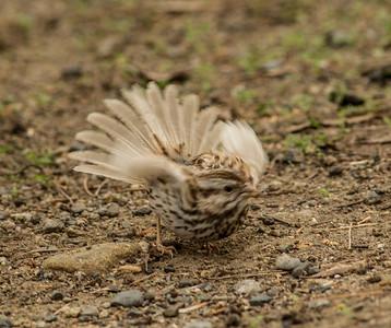 Song Sparrow Camp Pendleton 2015 01 10-1.CR2