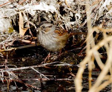 Swamp Sparrow Bishop  2012 12 18 (2 of 7).CR2
