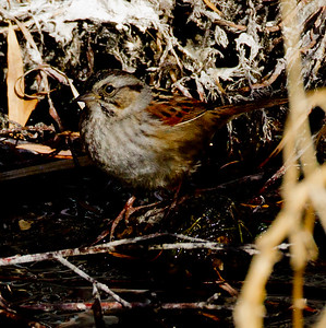 Swamp Sparrow Bishop  2012 12 18 (1 of 7).CR2