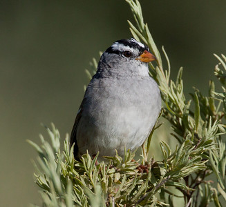 White-crowned Sparrow  San Diegutio Lagoon 2011 03 31-2.CR2 (4 of 5).CR2