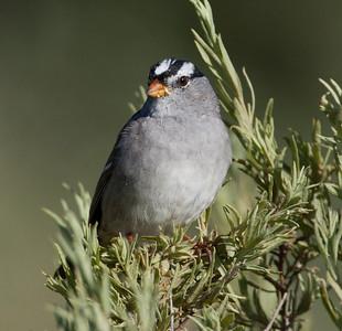White-crowned Sparrow  San Diegutio Lagoon 2011 03 31-2.CR2 (5 of 5).CR2
