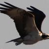 George Nothhelfer, Osprey -Besty of Laguna