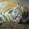 Tiger tongue DSC00800 lg jpg