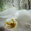 HarperB_Orchid