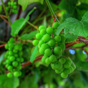 How green are my grapes? Photo © Alex Emes
