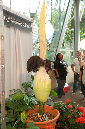July 25, 2010 - Lois the Corpse Flower at the Houston Museum of Science.  Only 28 known blossoms in the US EVER.