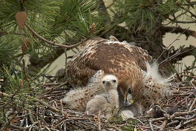 Red tailed Hawk Mom with Chicks