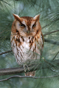 Red Phase Eastern Screech Owl
