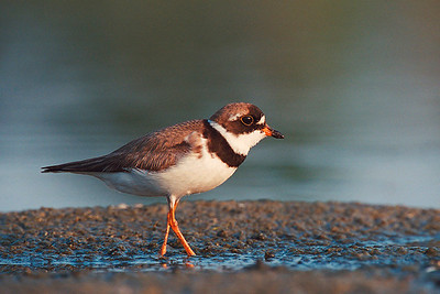 Semi palmated Plover