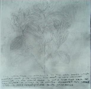 14. La planta de coca, dibujos y texto sobre papel realizado con carboncillo a partir de la madera del arbusto de coca, 2007.