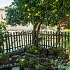 Grapefruit Tree at  DragonflyHill Urban Farm Community