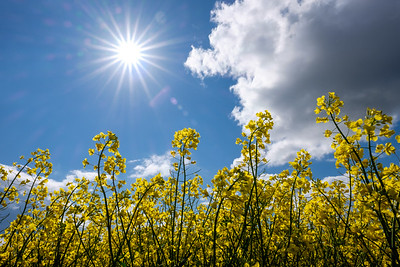 Sun and yellow fields