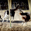 "<strong>THIS IMAGE IS A 20x10 DIMENSION<strong/> Dog Agility by <a href=""https://www.facebook.com/WollondillyAllBreedsKennelClub/"">Wollondilly All Breeds Kennel Club </a>  contact Jody Asquith - Jody.Asquith@energetics.com.au"