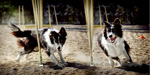 "<strong>THIS IMAGE IS A 20x10 DIMENSION <strong/> Dog Agility by <a href=""https://www.facebook.com/WollondillyAllBreedsKennelClub/"">Wollondilly All Breeds Kennel Club </a>  contact Jody Asquith - Jody.Asquith@energetics.com.au"