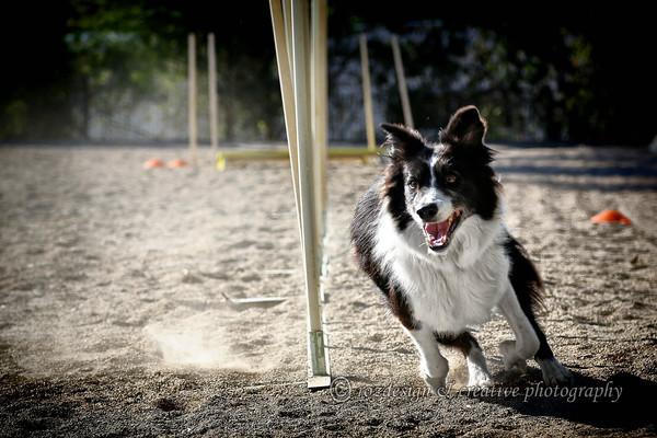 "Dog Agility by <a href=""https://www.facebook.com/WollondillyAllBreedsKennelClub/"">Wollondilly All Breeds Kennel Club </a>  contact Jody Asquith - Jody.Asquith@energetics.com.au"