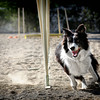 "Dog Agility by <a href=""https://www.facebook.com/WollondillyAllBreedsKennelClub/"">Wollondilly All Breeds Kennel Club </a>  contact Jody Asquith - Jody.Asquith@energetics.com.au"