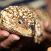 "a Shingle Back at <a href=""http://www.avianreptileandexoticpethospital.com.au/"">the Avian, Reptile and Exotic Pet Hospital</a>"