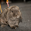 "Sharee's rabbit Max from <a href=""http://splash-rabbits.webs.com/"">Splash Rabbits Stud</a>"