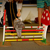 "Sharee's rabbit Max hopping over a jump from <a href=""http://splash-rabbits.webs.com/"">Splash Rabbits Stud</a>"