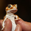"a gecko at <a href=""http://www.avianreptileandexoticpethospital.com.au/"">the Avian, Reptile and Exotic Pet Hospital</a>"