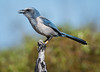 Florida Scrub Jay - Perched