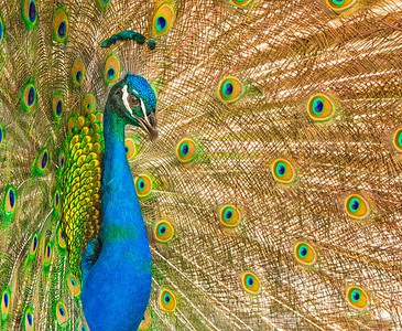 Peacock - Male