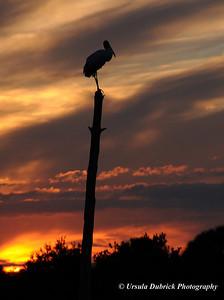 Woodstork Silhouette - Viera Wetlands, Viera, FL.